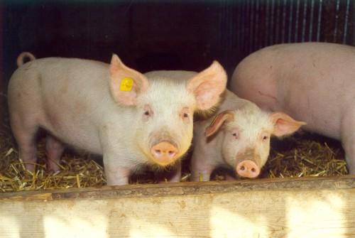 schweine.jpg
