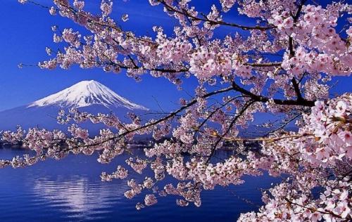 japon-cerisiers-en-fleurs-2.jpg