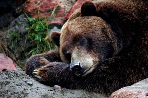 ours-hibernation.jpg
