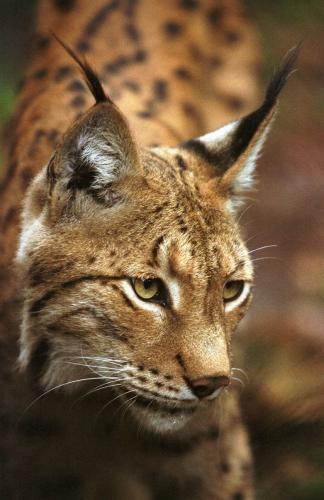 lynx-mammifere-felide-carnivore-Slovenie-Croatie-Europe.jpg
