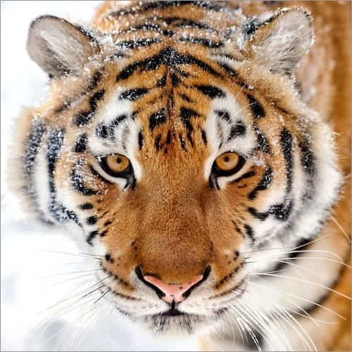 tigre-de-siberie-dans-la-neige.jpg