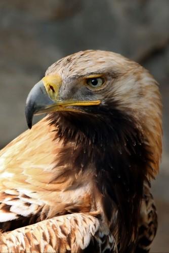 aigle-imperial-484254835a.jpg