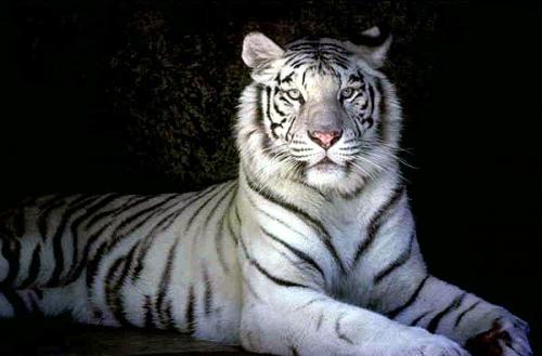 tigre-blanc-2bis.jpg