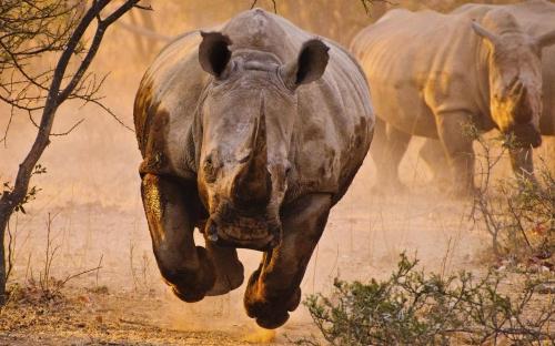 charge-rhinoceros-001.jpg