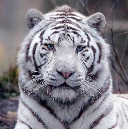 tigre-blanc-jpg.jpg