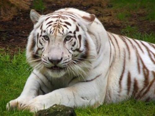 tigre-blanc-2_1406_w620.jpg