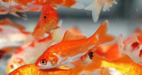 poissons-rouge-ethanol-alcool-production-eau-non-oxygenée-750x400.jpg