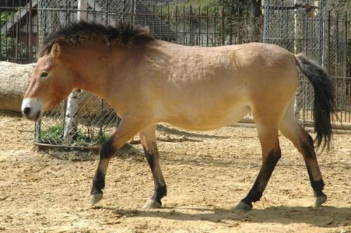 cheval-przewalski.jpg
