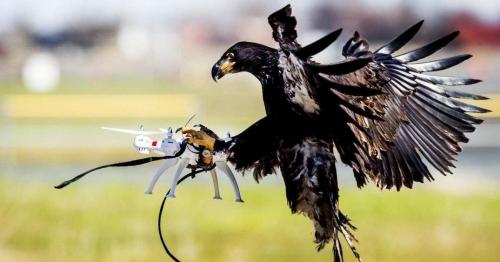 aigle-desses-neutraliser-drones.jpg