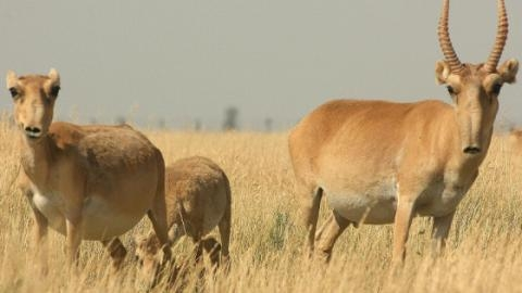 antilopes-saigas_.jpg