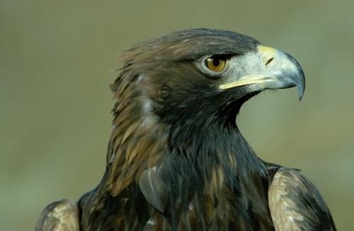 Alpen Adler1.jpg
