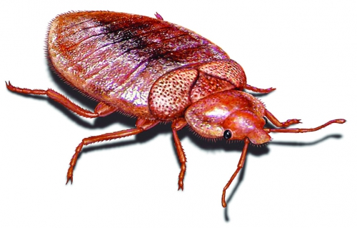bed-bug-illustration_824x527.jpg