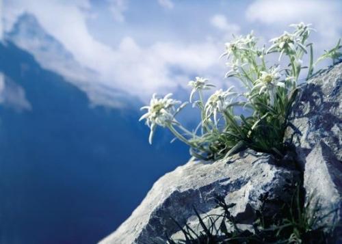 edelweissMONT.jpg
