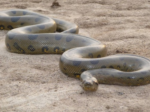 anaconda-from-snakespictures.net_.jpg