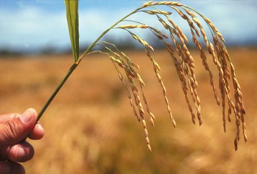 hybrid-rice.jpg