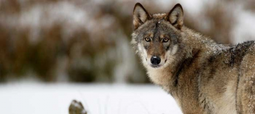 wolf_hero04a.jpg