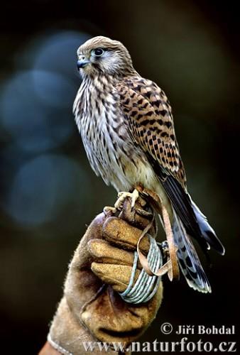 faucon-crecerelle-443.jpg